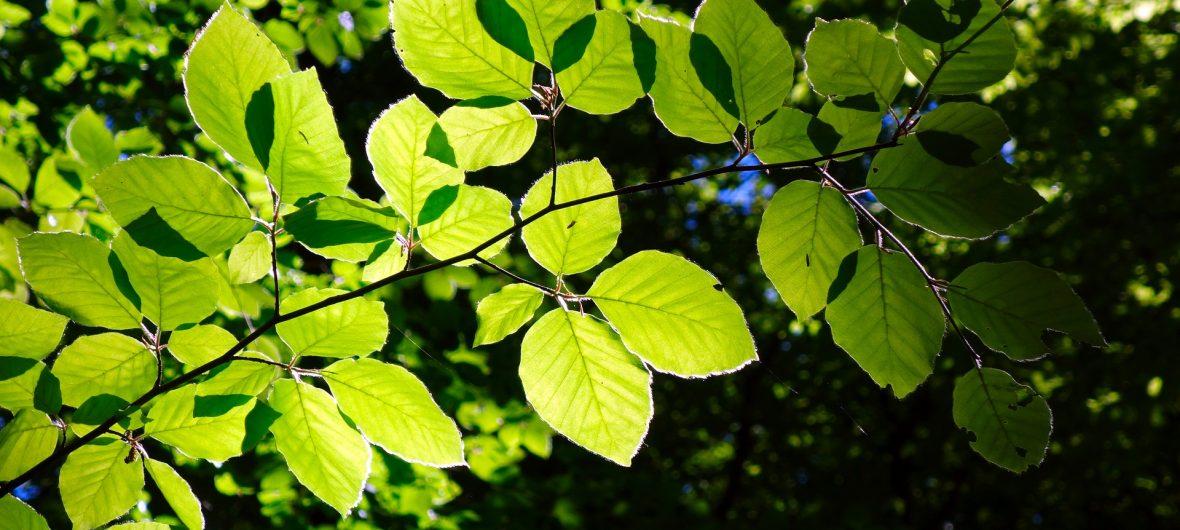 Buche Blätter